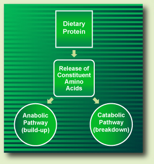 Dietary protein metabolism pathways